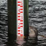 Vid naturum kan man läsa av vattenståndet på en pegel. Foto: Eva Hansson