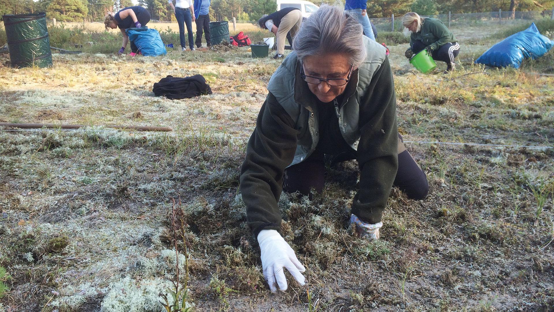 Biosfärambassadörer röjer lavar och tallplantor för att hjälpa sandmarkernas sällsynta arter på traven. Foto: Åsa Pearce