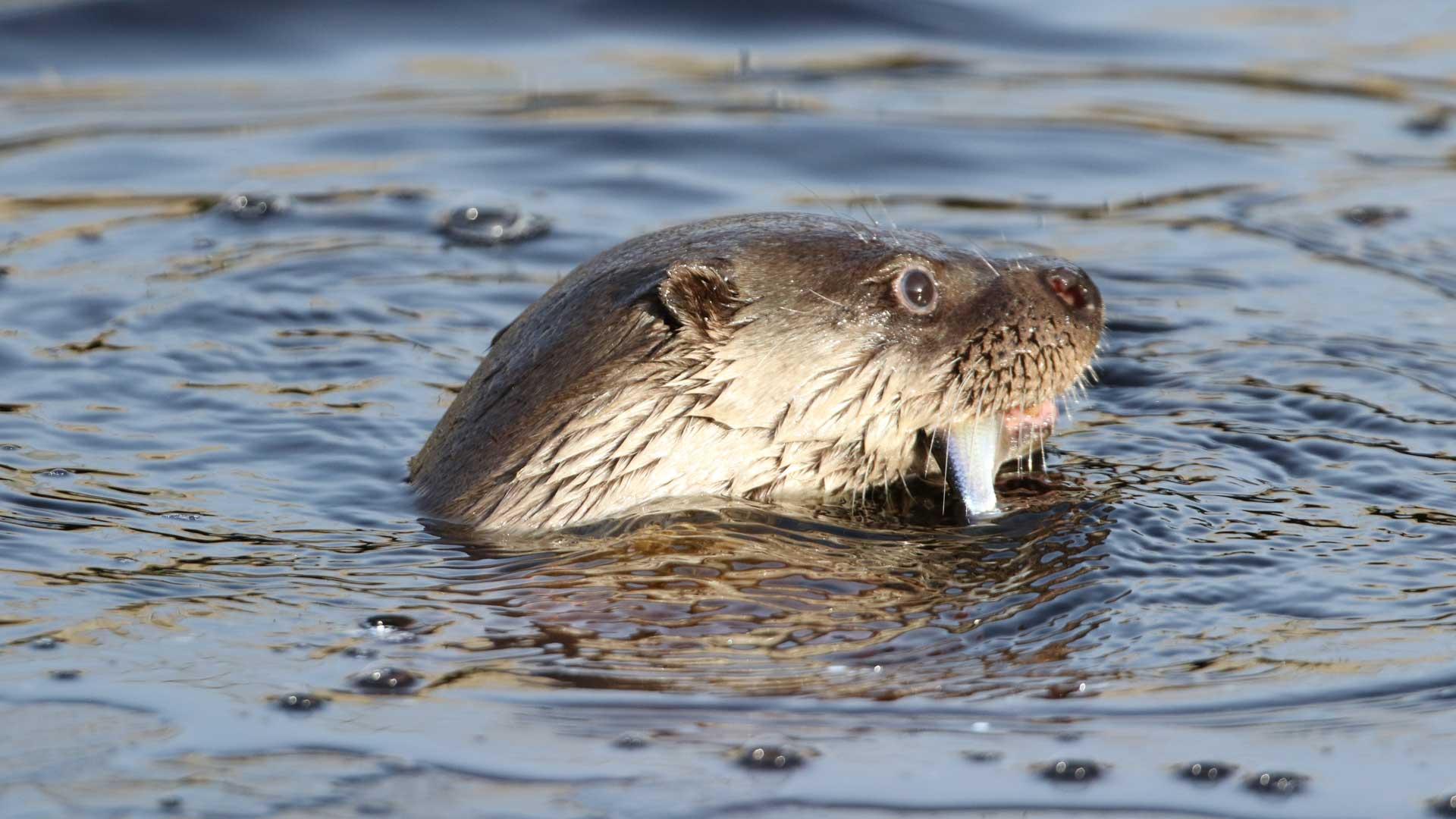 I naturumsjön finns det gott om fisk för uttrarna. Foto: Linda Niklasson