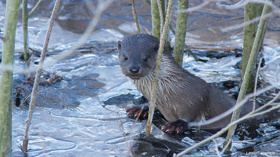 En av uttrarna som var flitig besökare vid naturum 2015/2016. Foto: Lennart Johanzon