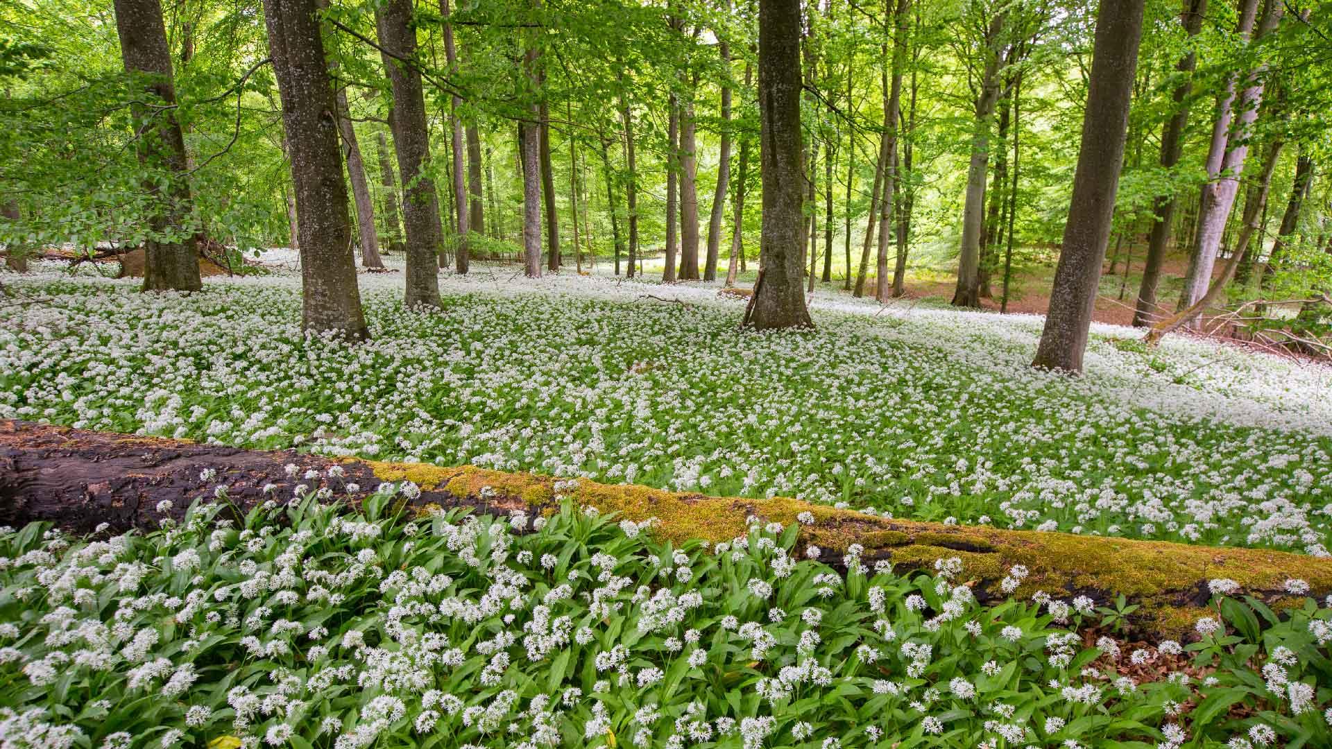Ädellövskog med marken täckt av ramslök i Maltesholm. Foto: Patrik Olofsson/N