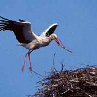 Stork Bygger Bo Vid Storkcenter Vid Gårdsbutiken I Viby. Foto: Patrik Olofsson/N
