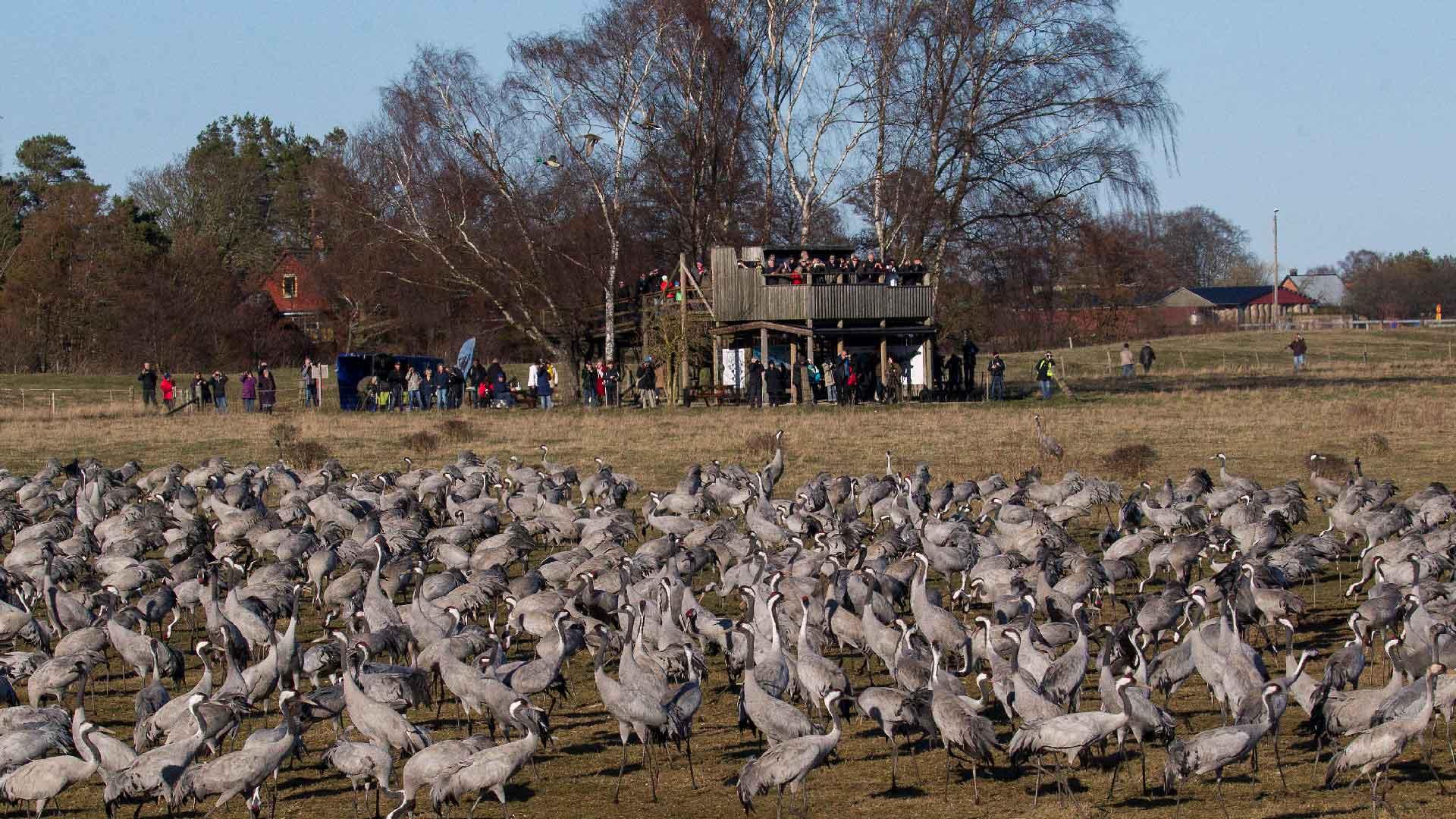 I månadsskiftet mars-april samlas tusentals tranor vid Pulken. Foto: Patrik Olofsson/N