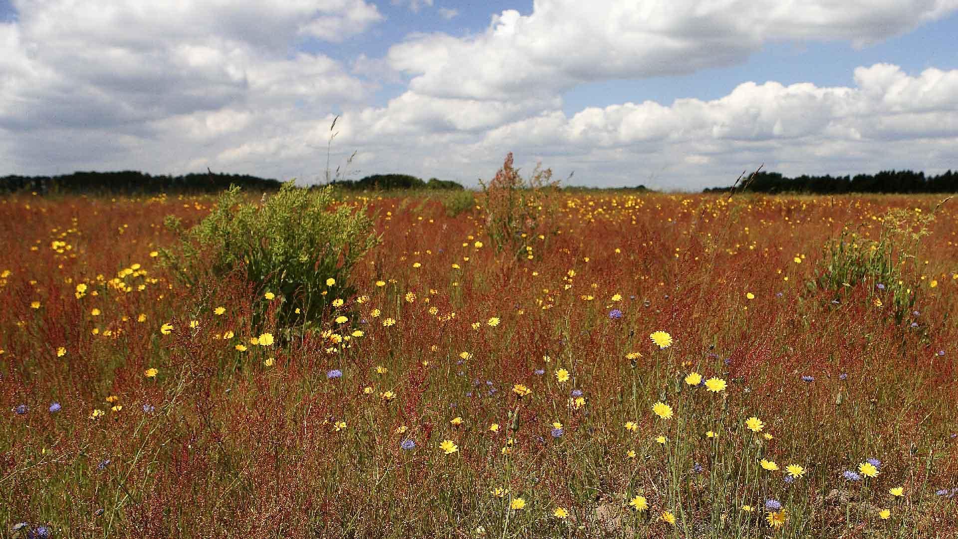 Sånnarna blommar i gult, rött och blått. Foto: Patrik Olofsson/N