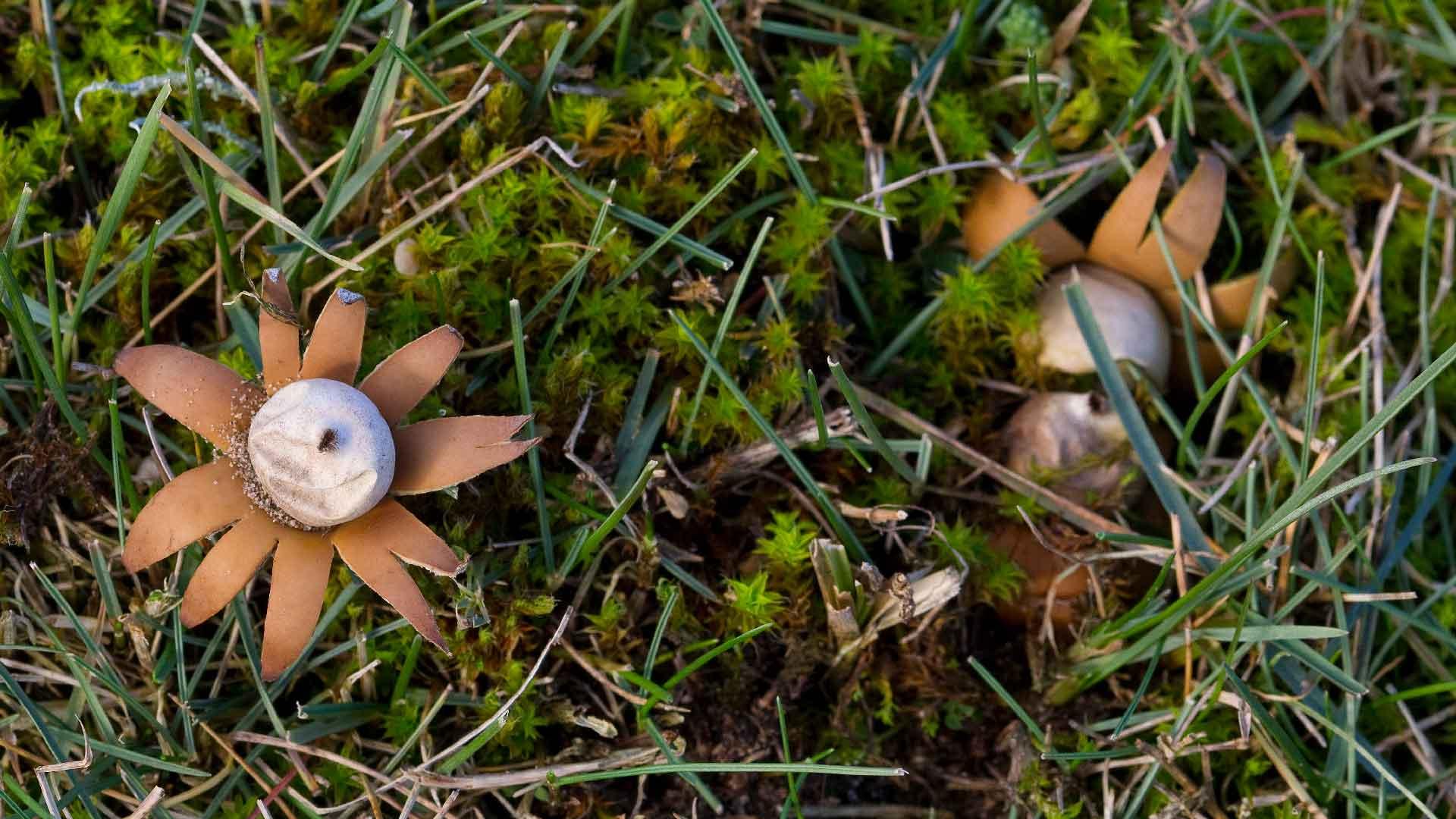 Jordstjärnor är en av sandmarkernas svampar. Foto: Patrik Olofsson/N