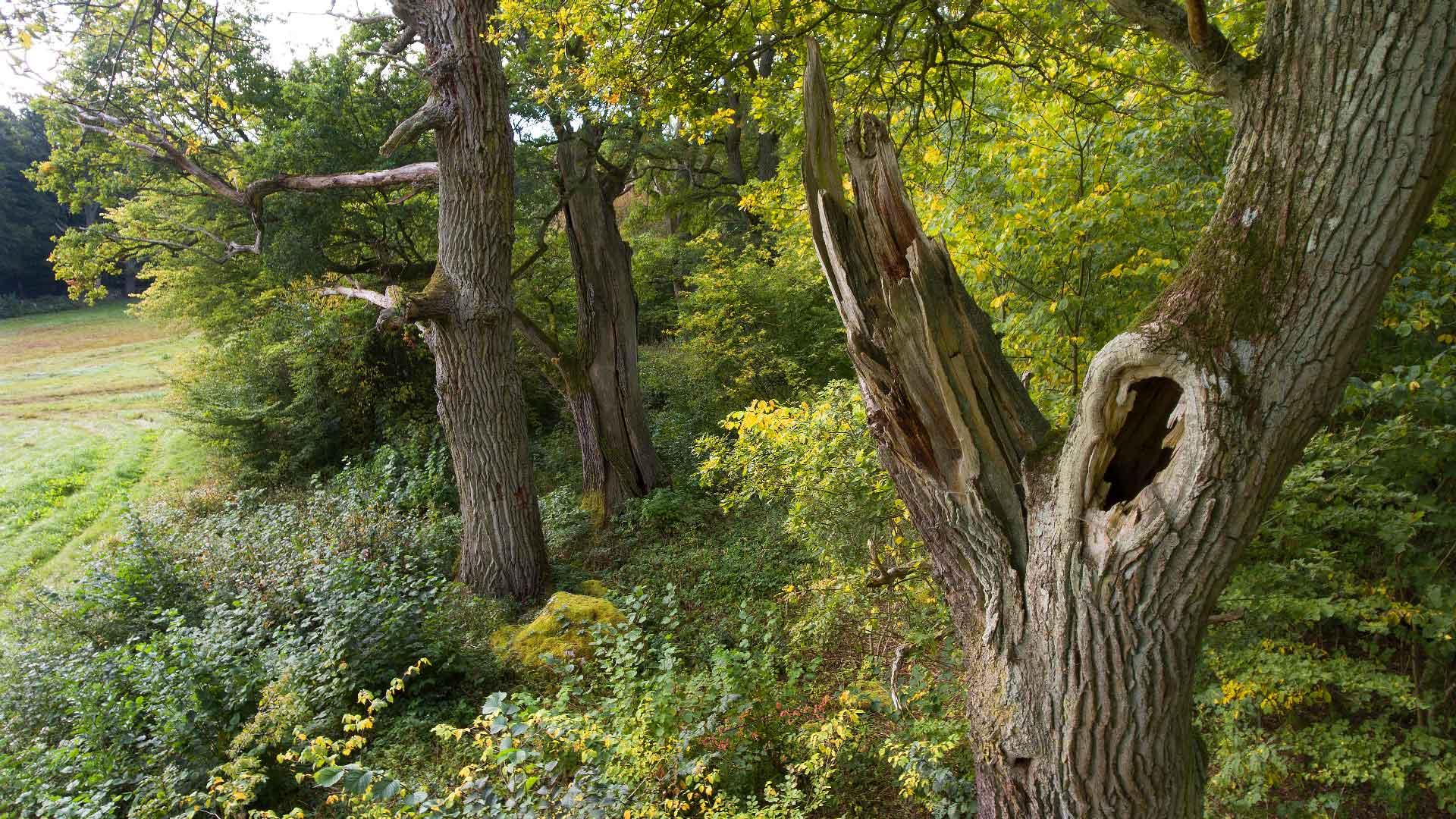 Värdefulla gamla träd vid Torsebro. Foto: Patrik Olofsson/N