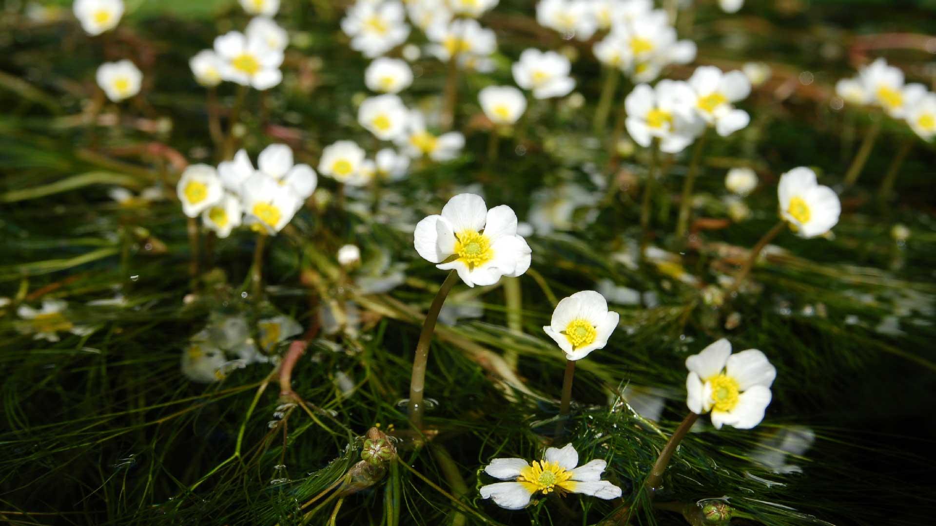 Närbild på jättemöjans vita blommor. Foto: Karin Magntorn