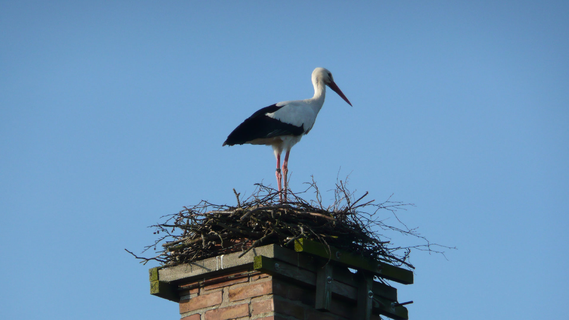 Stork på bo. Foto Karin Magntorn
