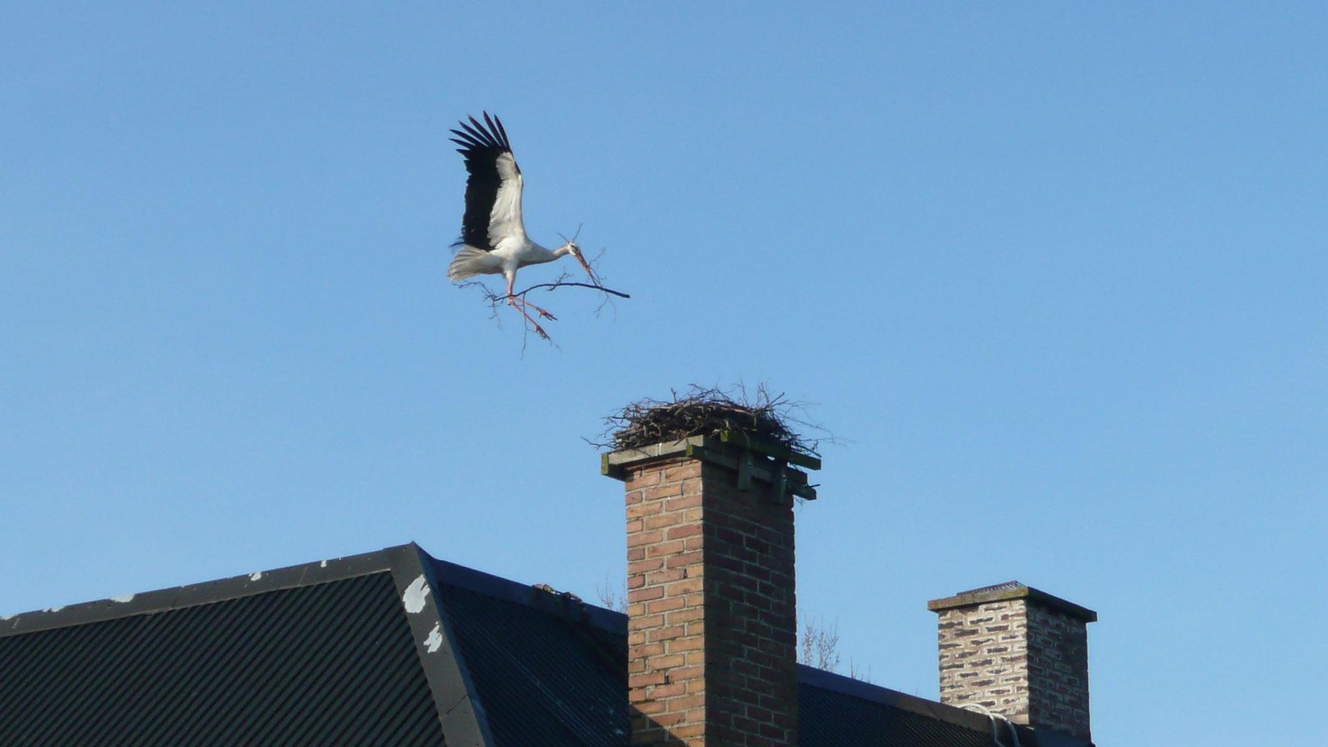 Stork bygger bo. Foto Karin Magntorn.