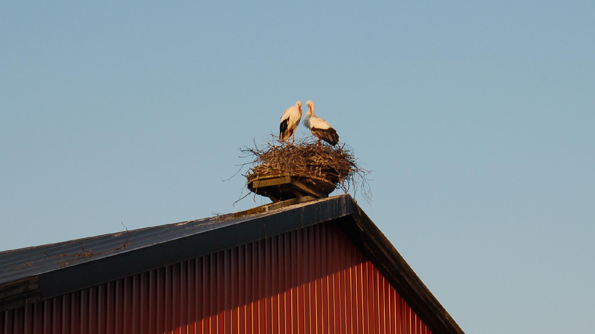 Storkpar i boet. Foto Karin Magntorn