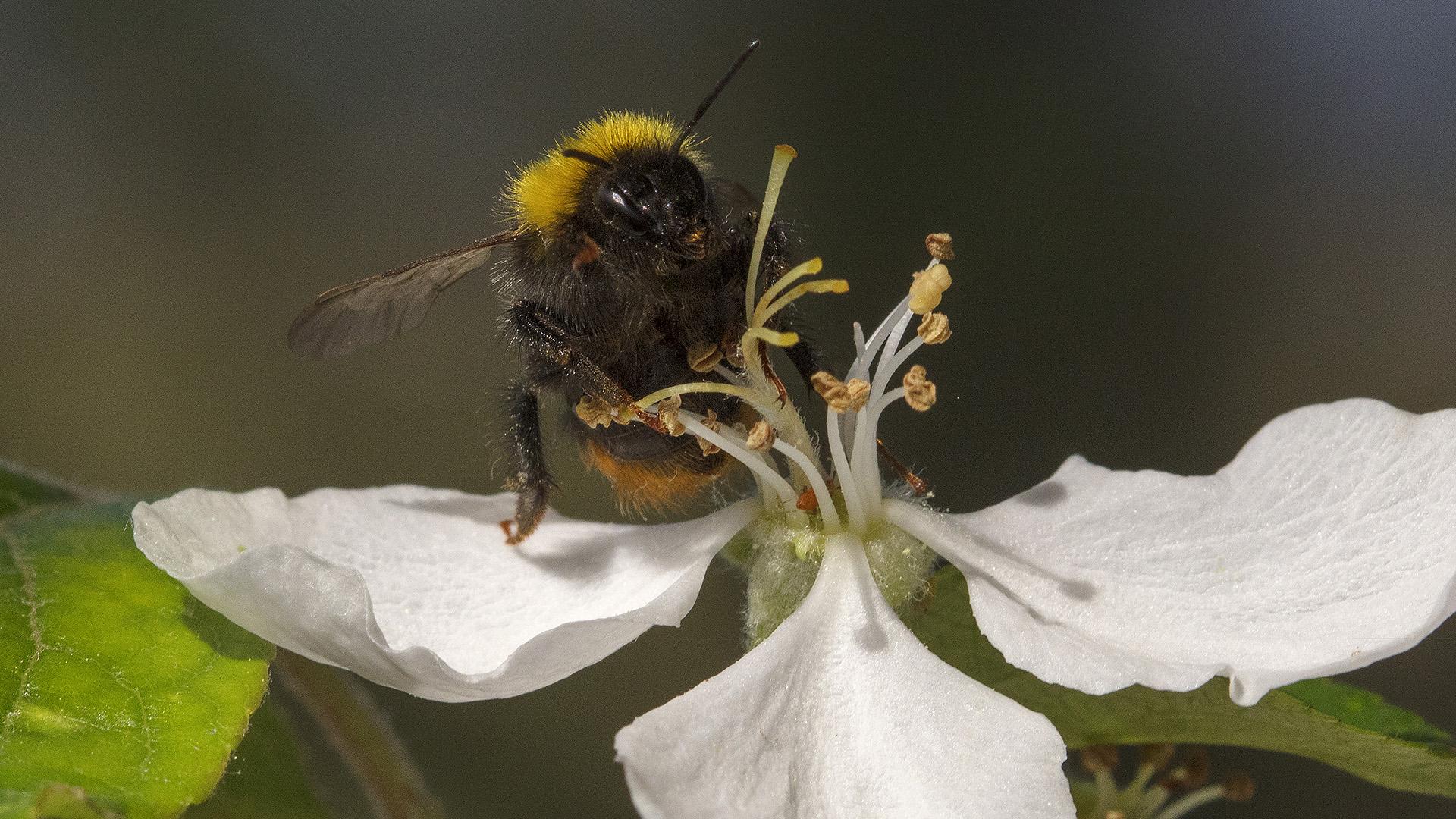 Humlor och bin är exempel på pollinatörer. Foto: Patrik Olofsson/N