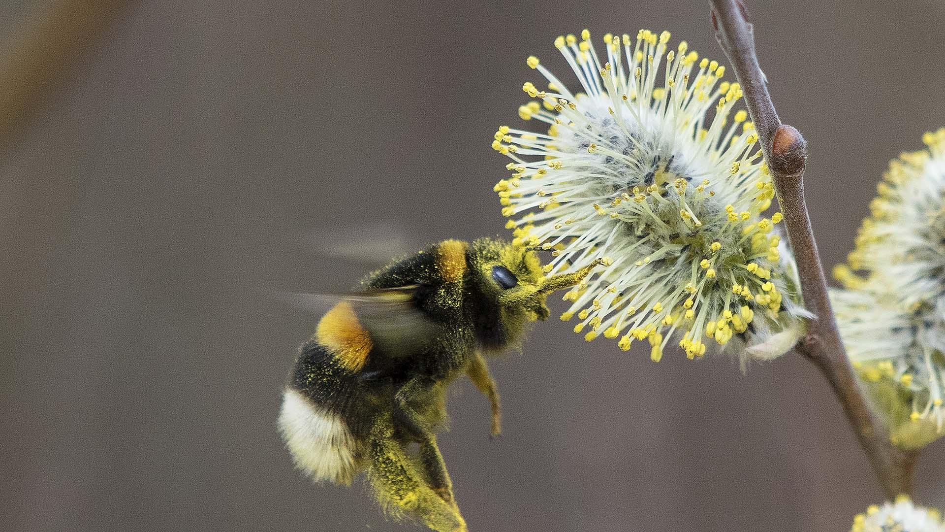 Sälgen ger föda till många insekter tidigt på våren. Foto: Patrik Olofsson/N