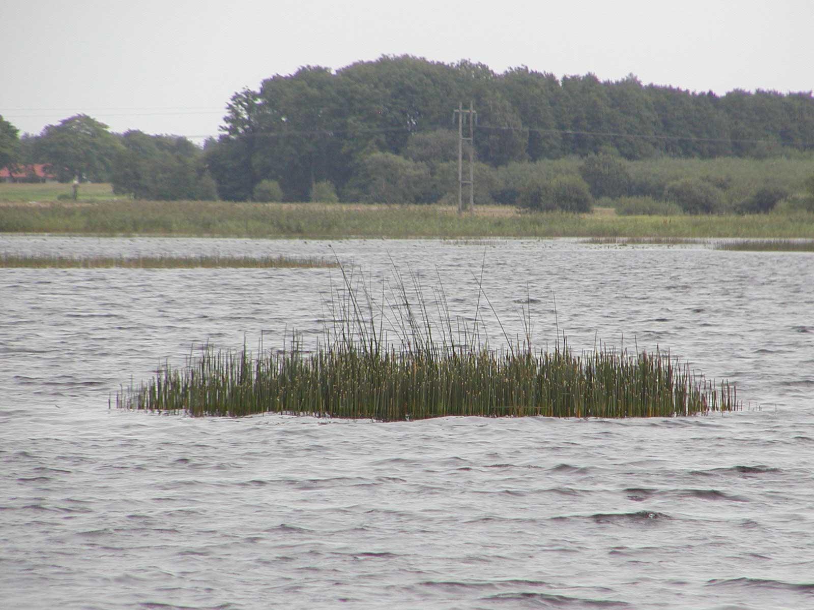 Säv i Hammarsjön 2006