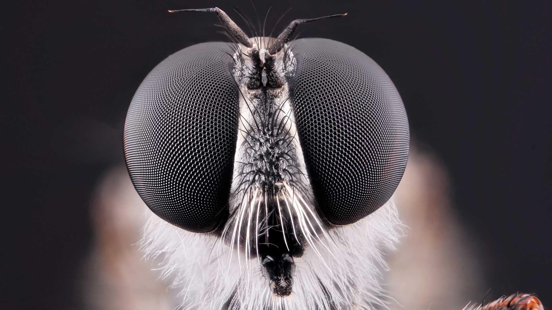 Rovfluga. Foto: Kristian Gärdsborn