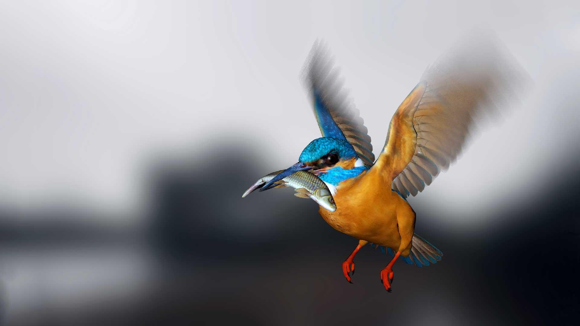 Kungsfiskare flyger med fisk i munnen