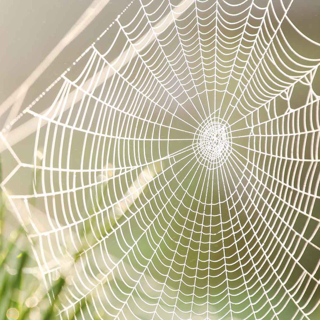 Spindelnät. Foto Adobe Stock